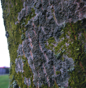 Lecanora on ornamental tree
