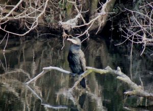 Cormorant on freshwater river