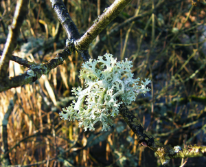 Evernia prunastri on willow