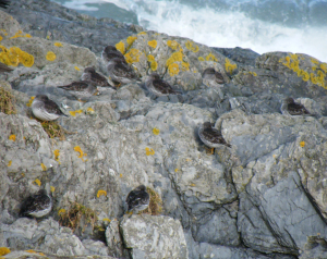 Purple sandpipers on a wintry shore