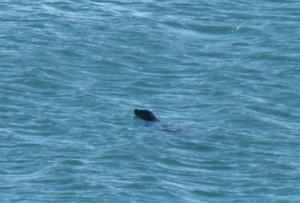 Possible harbour seal