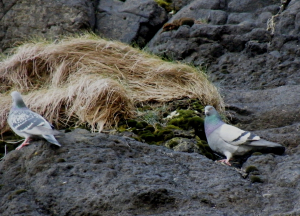 Feral pigeons on sea cliff