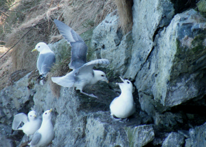 Fulmars return to breeding site