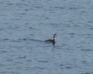 Greatcrested grebe coming in to spring plumage