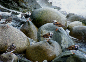 Turnstones in spring