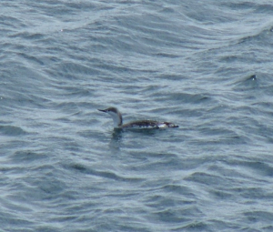 Redthroated Diver still in winter plumage