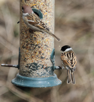 Reed Bunting and Tree Sparrow