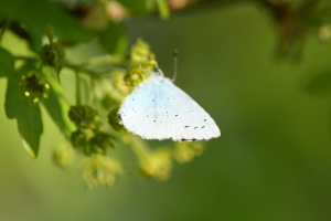 Pale blue butterfly