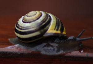 White Lipped Snail