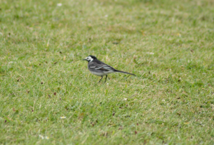 Wagtail