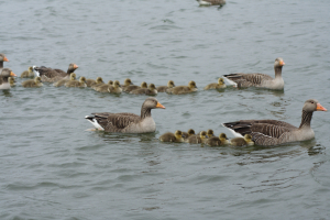 Greylag Geese and Goslings