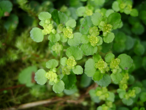 What type of saxifrage?