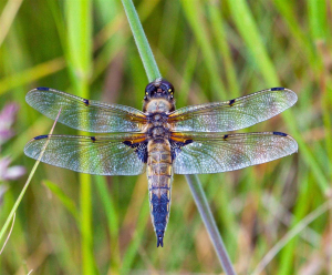 4 Spotted Chaser - Libellula quadrimaculata
