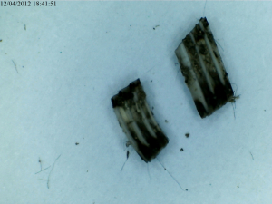 Field Vole Molar Teeth