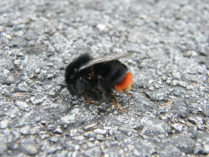Red tailed bumblebee