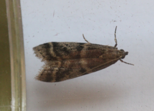 Micro moth Euzophera pinguis?