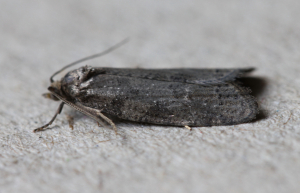 Grey/Light Grey tortrix