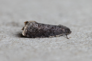 Plum Fruit Moth?