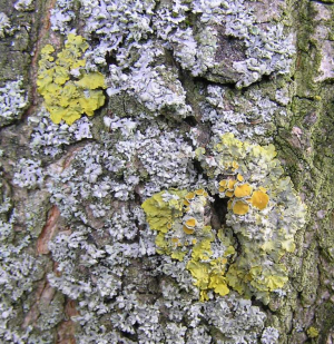 Lichens growing on Tillia cordata bark