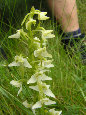 Lesser Butterfly-orchid closer photo