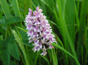 Heath Spotted-orchid (or similar)