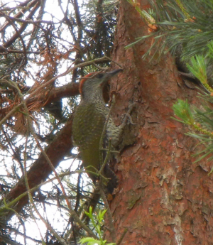 Green Woodpecker