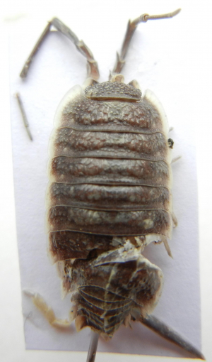 Giant Woodlouse