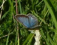 Common Blue ?