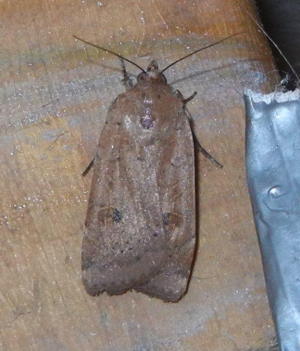 Yellow Underwing