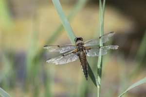 Four spotted chaser?