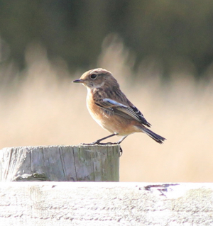 young stonechat?
