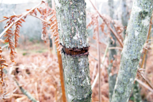 rings in bark of alder buckthorn
