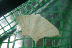 Large white moth with pointed wing tips