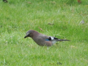 jay digging in the grass