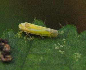 Yellow leafhopper(s)