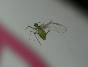Aphid caught on spider's line