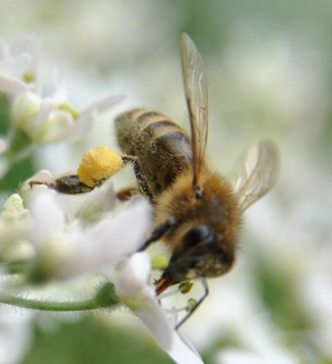 Pollen comparison: Honey Bee vs. Mining Bee