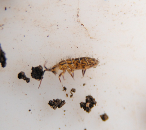Springtail from leaf litter