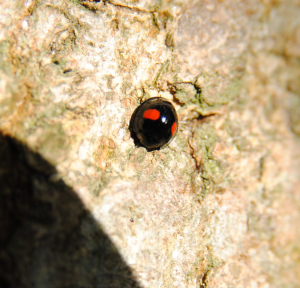 Ladybirds on an ash tree