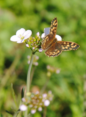 Speckled Wood butterfly on a flower