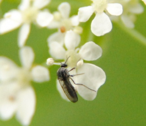 Small insect on an umbelliferous inflorescence.