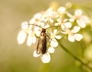 Moth-like insects on cow parsley