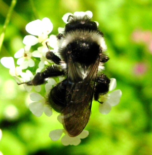 Bee (1) on Cow Parsley