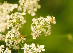 Small yellow flies on Cow Parsley.