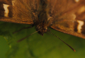 Facial features of a Speckled Wood butterfly