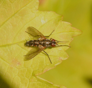 Probable Tachinid fly