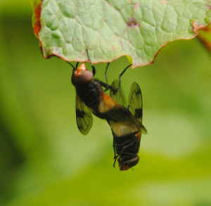 Mating Volucella