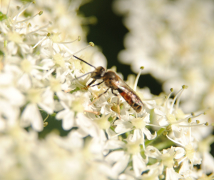 Solitary bee on Hogweed inflorescence