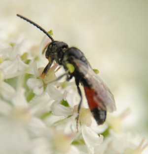 Solitary wasp on Hogweed inflorescence