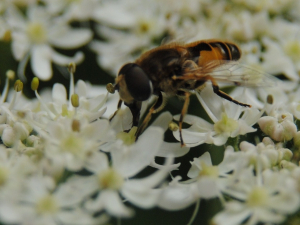 Hoverfly feeding on Hogweed inflorescence.